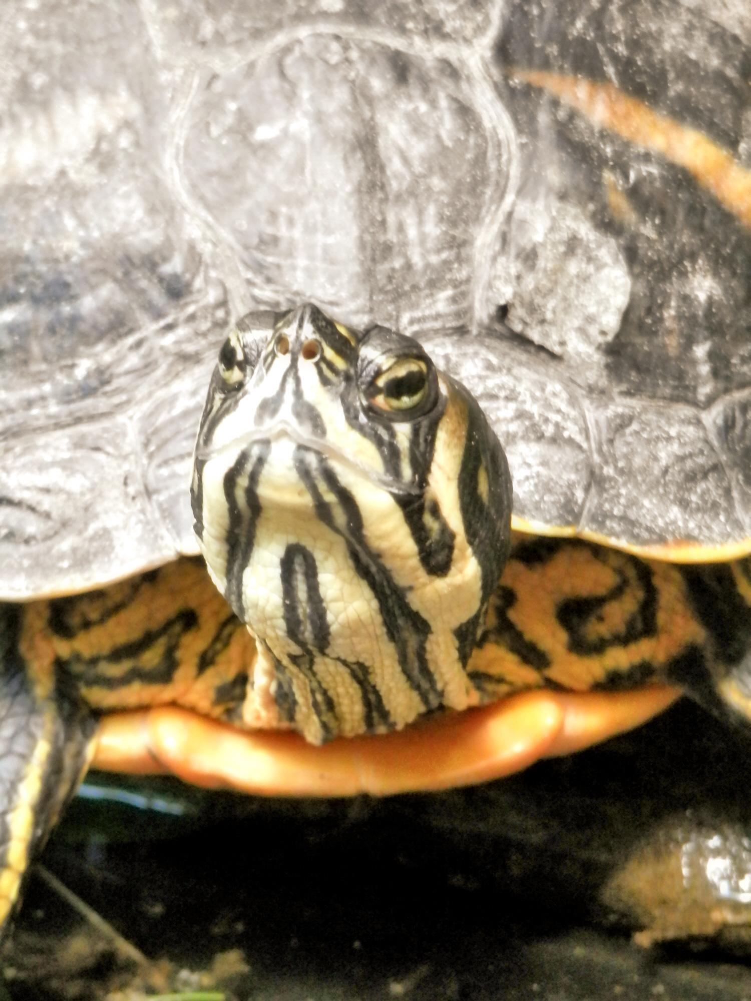 Gelbwangenschildkröte  (Foto: Michael Schneider)