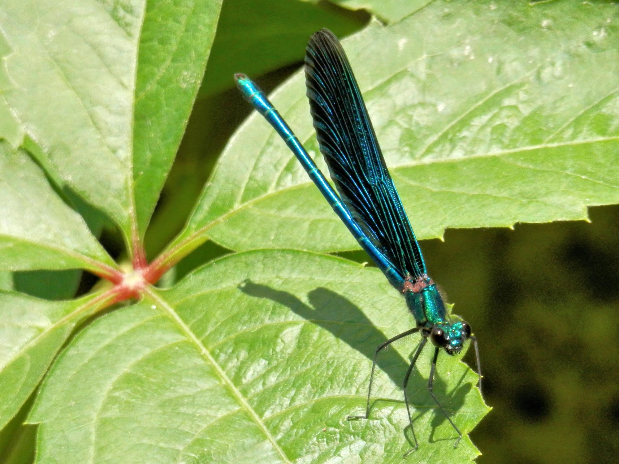 Blauflügel Prachtlibelle  (Foto: Michael Schneider)
