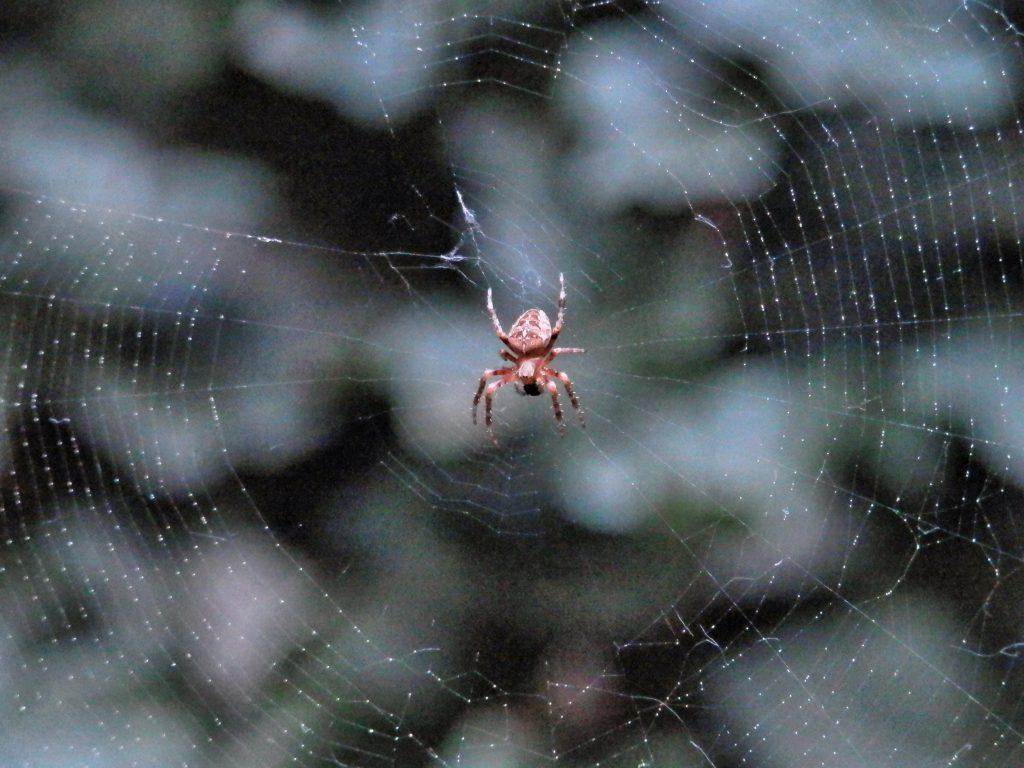 Gartenkreuzspinne im Netz mit Beute