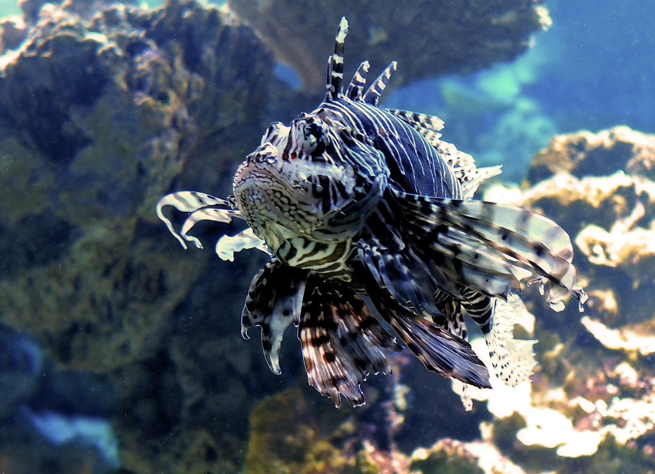 Feuerfisch  (Foto: Michael Schneider)