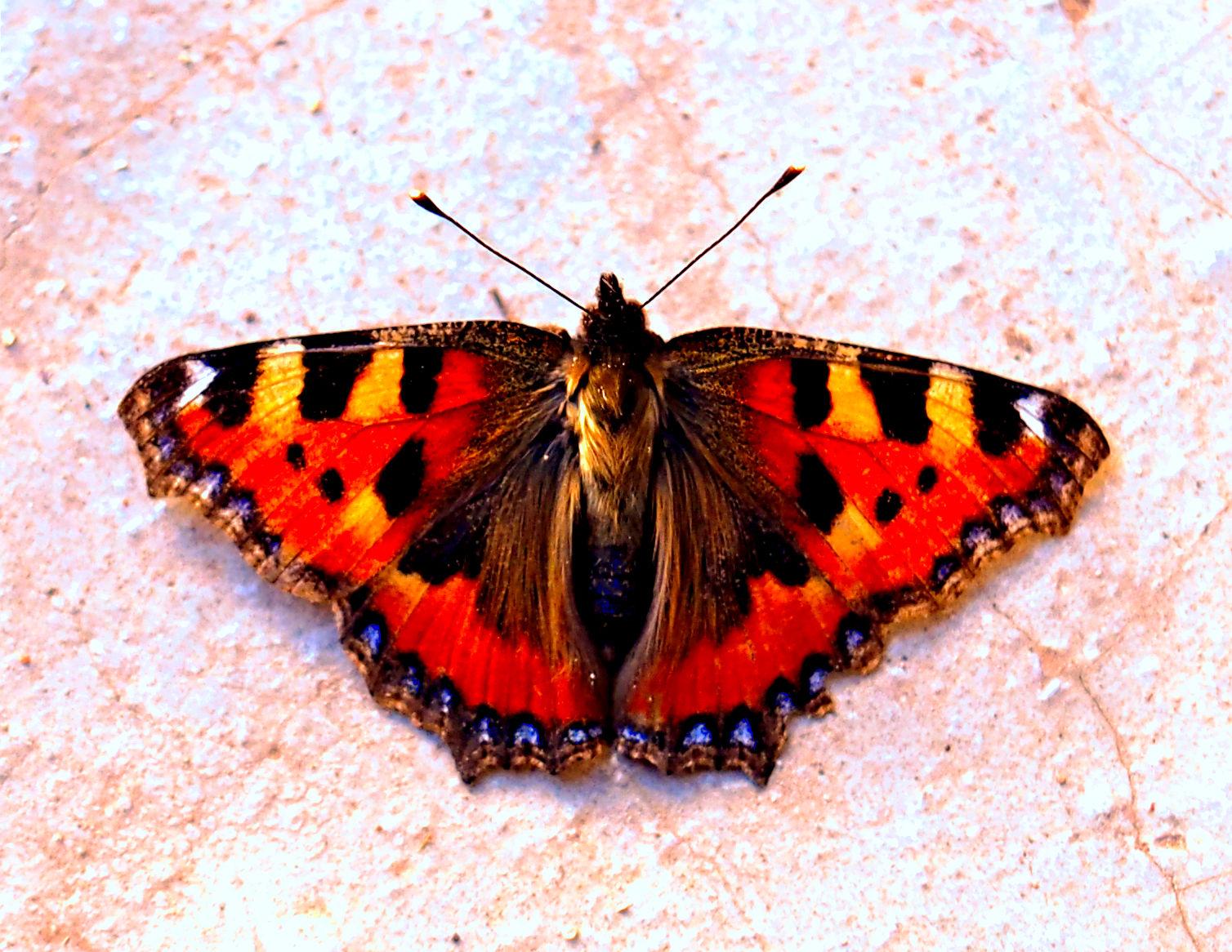 Kleiner Fuchs  (Schmetterling)