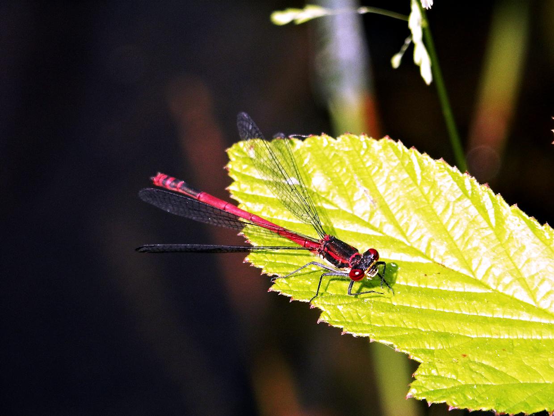 Blutrote Heidelibelle (Sympetrum sanguineum)