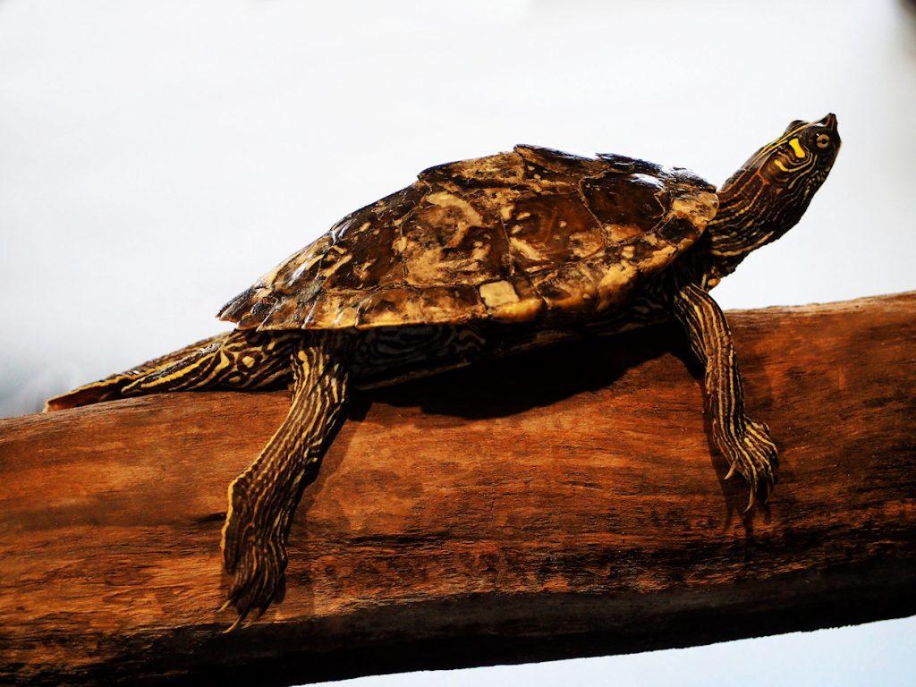 Schildkröte auf Ast