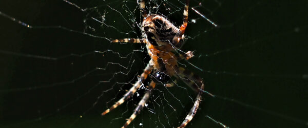 Gartenkreuzspinne im Netz