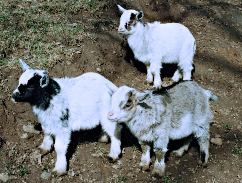 Junge Ziegen