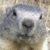 Profilbild von Murmeltier